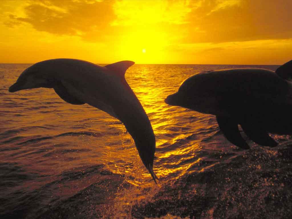 dauphins Hom4